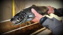 Lieksassa kiehuu riitaisa soppa järvilohen salakalastuksesta – Poliisin vihjaillaan jarruttaneen tutkintaa, kansanedustajat älähtivät