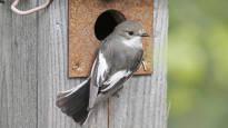 Muuttolinnut hylkäsivät Suomen kolme vuotta sitten – nyt ne ovat palanneet ja munivat kuin viimeistä päivää