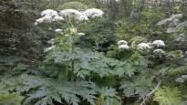 Vaarallisten jättiputkien riivaama Kouvola keksi uuden aseen kasvin nitistämiseksi – muovi vaihtuu hamppuun