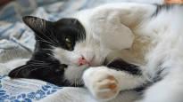 Tänään juhlitaan kissoja: Asuuko teillä laiska löhöilijä, sähäkkä saalistaja vai taitava temppuilija?