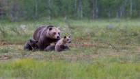 Karhujen määrän kasvu pysähtyi – kanta on pienentynyt selvimmin Itä- ja Pohjois-Suomessa