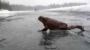 Rupikonna talvikävelyllä Littoistenjärven luisteluradalla vesisateisena sunnuntaipäivänä 8. helmikuuta.