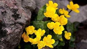 Rentukka kukki Salossa Uskelanjoen rannalla kuin nippu pieniä aurinkoja!