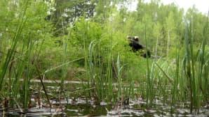 Hevonkosken sammakko