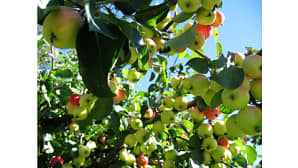 Kuvassa omenoita omanapuun oksilla. Taustalla loistaa kirkas sininen taivas.
