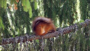 Orava puunoksalla