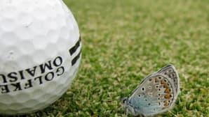 Sinisiipi golfpallon vieressä