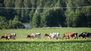 Lehmät pellolla