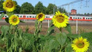 Auringonkukkia Riihimäen radan penkalla - taustalla juna