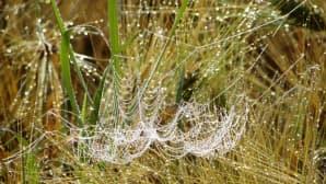 Kastehelmiä hämähäkin seitin päällä.