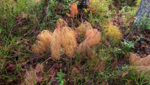 Metsäkorte komeassa ruskassa