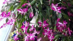 Huonekasvi marraskaktus täydessä kukassaan