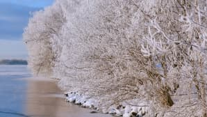 Lumisia pensaita jäätyneen järven rannalla