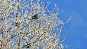 Linnut istuvat lumisen puun oksilla