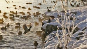 Sorsat parveilivat Pyhäjärven rannassa Tampereella