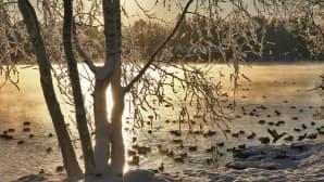 Lumisia puita ja sorsia järven rannalla