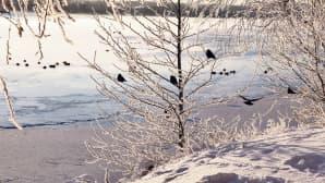 Linnut istuvat puun oksilla ja jäätyneellä järven jäällä