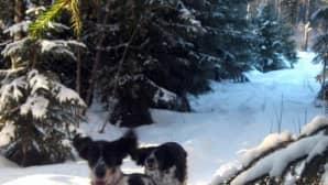 Koiria lumessa