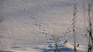 Jälkiä hangella Raitalammin jäällä