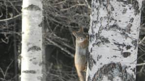 Orava koivun rungolla.