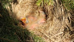 Linnunpoikasia