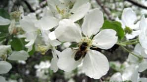 Pölyttäjä kukassa