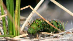 Perhosen toukka lähikuvassa