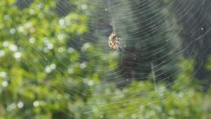 Hämähäkki korjaa verkkoaan