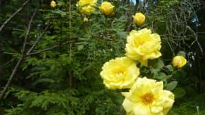 Kuusi ja ruusu Honkamajan metsäpuutarhassa Tammelassa