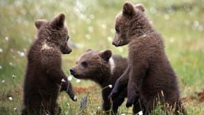 Kolme karhunpoikaa suomaisemassa.