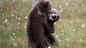 Kaksi karhunpoikaa nahistelee suomaisemassa.