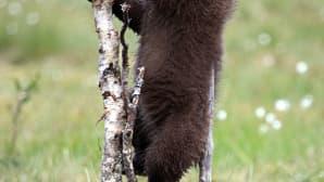 Karhunpoika kiipeilee hennossa puunrungossa.