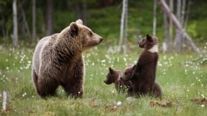 Karhuemo seisoo suolla kolmen poikasensa kanssa, yksi pojista seisoo takajaloilla ja tuijottaa emoa silmiin.