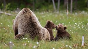 Karhuemo istuu suolla, selkä kameraan, kaksi karhunpoikaa haistelee toisiaan emon vieressä.