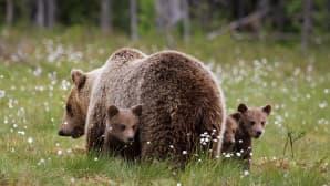 Karhuemo ja kolme poikasta suomaisemassa.