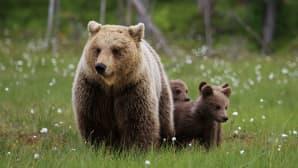 Karhuemo ja kolme karhunpoikasta suopursujen keskellä.