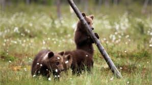 Kolme karhunpentua suolla. Yksi karhunpentu seisoo kelopuuta vasten.