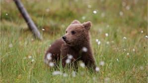 Karhunpentu suopursujen keskellä