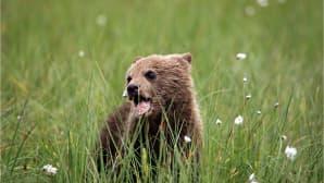 Karhunpoika haukkaa suopursua.
