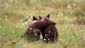 Kaksi karhunpoikaa kaulatusten suomaisemassa.