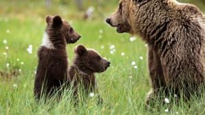 Karhuemo ja kaksi poikasta suomaisemassa.