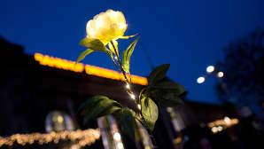 Kuvassa näkyy keltainen ruusu sinistä iltataivasta vasten. Ruusua kiertää valorihmasto.