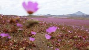 Kukkiva Atacaman autiomaa.