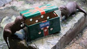 Kääpiösaukot Bonnie ja Clyde etsimässä laatikosta ruokaa Sealifessa Timmendorfer Strandissa, Saksassa 5. joulukuuta.