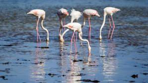 Kuusi flamingoa.
