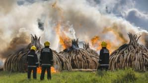 Kolme palomiestä tarkkailee suuria palavia norsunluukasoja.