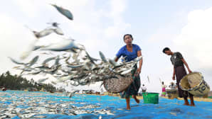 Kalansaalis levitetään kankaan päälle kuivumaan Ngapalin kalastajakylässä Myanmarissa.