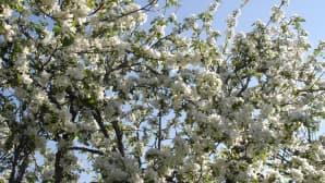 Omenapuun runsas kukinto lupaa hyvää satoa tälle vuodelle. Kuvattu Vaasan Huutoniemellä.