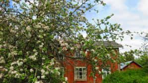 Omenapuut kukkivat puutarhoissa.