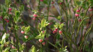 Mustikka kukkii sään lämmittyä, toivottavasti hallaöitä ei enää tule.